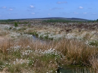 cotton grass 3