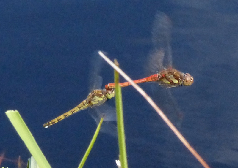 Pair of common darters