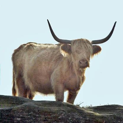 write cow