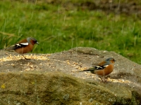 04-The chaffinches are as noisy as ever, even in a hailstorm...