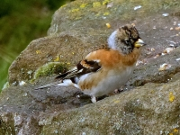 06-It's a farewell do for the brambling..