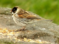 07-The stern reed bunting says a few words..