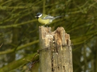08-As does the great tit ..