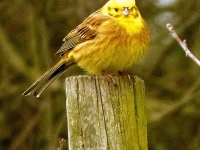 09-And the yellowhammer..