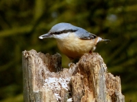 10-Even the nuthatch contributes -