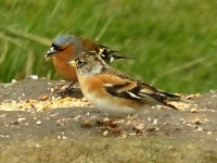 12-Brambling's best friends are the chaffinches