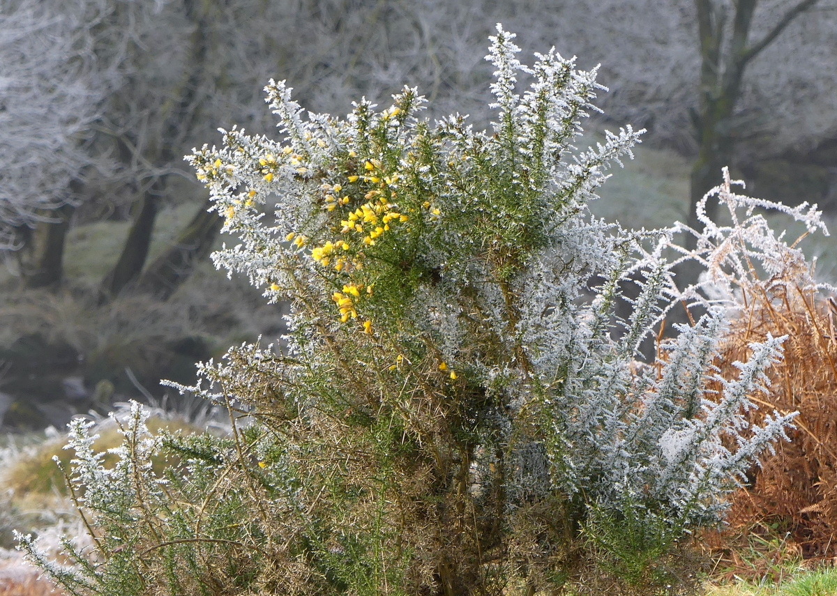 Flowering frosted gorse