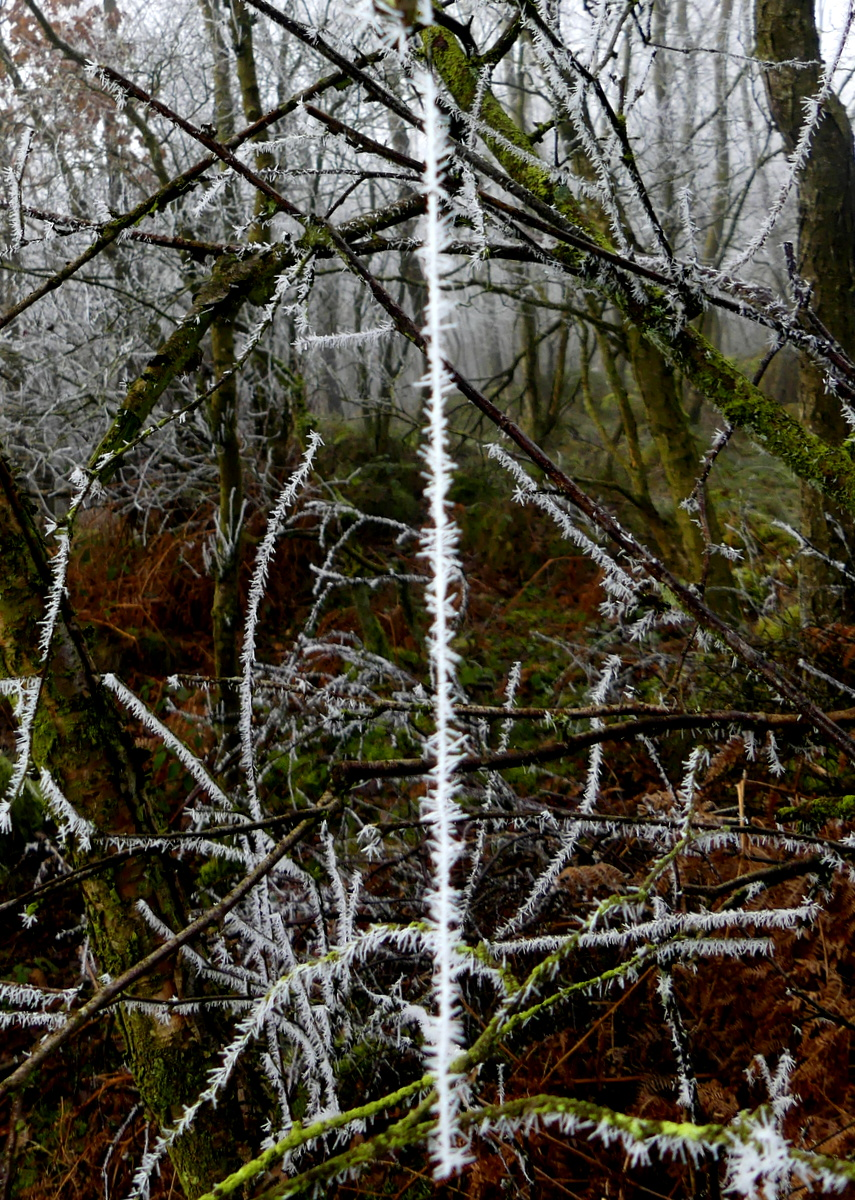 Frosted twigs