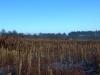 Sedges in Ramsley marsh