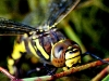 female common hawker