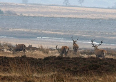 Stags in winter