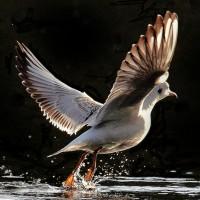 04-gull