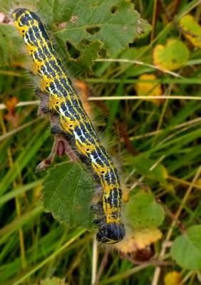 Buff tip caterpillar