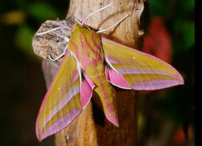 elephant_hawk_moth
