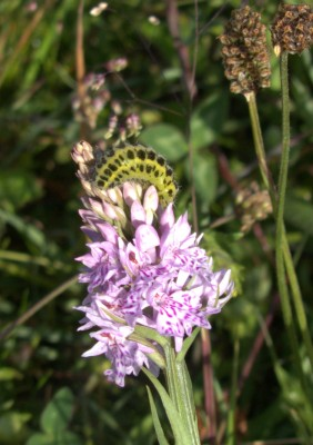 common spotted orchid with 6 spot burnet moth