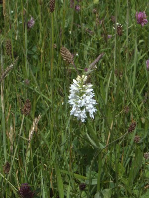 White common spotte