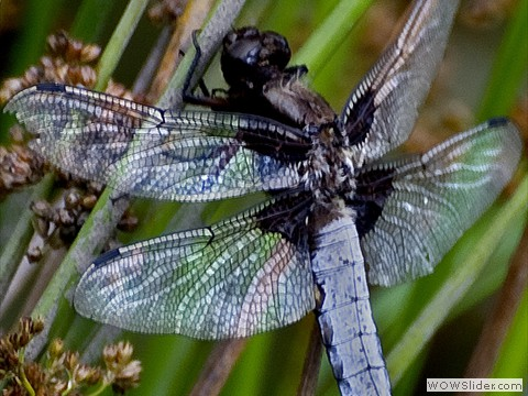 33-broad bodied chaser